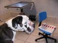 hypothyreosis következtében kialakult gennyes bőrgyulladás kutyán testszerte