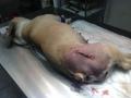 Perthes-kór műtét