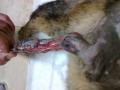 nyúzott, baleseti seb macska hátsó végtagján